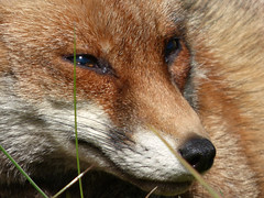 Fox (Peanut1371) Tags: fox mammal red eyes nose nationalgeographicwildlife