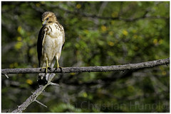 broad-winged hawk (Christian Hunold) Tags: buteo birdofprey johnheinznwr philadelphia christianhunold broadwingedhawk buteoplatypterus breitschwingenbussard