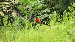 cardinal. lake katherine. 2016 (timp37) Tags: red july 2016 illinois lake katherine cardinal palos heights bird