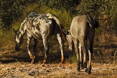 Marchar por la dehesa (Eduardo Estllez) Tags: espaa naturaleza nature caballo caballos photography photo spain foto photographer natural badajoz merida fotografia emerita fotografo potro cria dehesa extremadura equino cornalvo trujillanos vetonia eduardoestellez mygearandme estellez parquenaturaldecornalvo