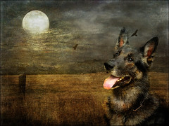 Remo No.1191 (Knipser31405) Tags: art natur hunde textured remo germanshepherddog tierwelt schferhunde flickrstruereflectionlevel1