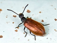 _DSC6704b (aeschylus18917) Tags: macro nature japan insect nikon g beetle micro  saitama nikkor f28 vr hanno pxt saitamaken koma 105mm  105mmf28 iruma motokaji 105mmf28gvrmicro saitamaprefecture irumashi   d700 nikkor105mmf28gvrmicro  nikond700 danielruyle aeschylus18917 danruyle druyle    hann hannshi