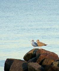 Havmger (PhotobyVibe) Tags: sea seagulls bird birds coast rocks seagull sten fugl hav kyst mger fugle mge havfugle havfugl