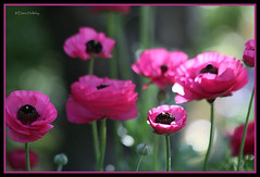 Pink Ranunculus (loobyloo55) Tags: pink flower canon flora floraandfauna