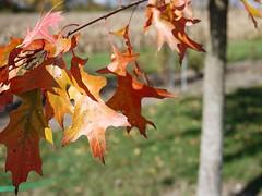 Shumard Oak Tree (F. D. Richards) Tags: usa west tree fall mi october flickr clinton f4 2012 fenceline zone5 49236