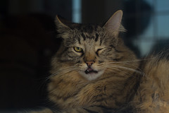 Trust me (AGraddyPhoto) Tags: cats cute animal cat canon kitten fluffy kittens tired rest maims canon60d agella agraddyphoto adamgraddy adamgraddyphotography