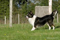 DSC_6127 (yume-design) Tags: france dogs training puppy labrador agility bordercollie shetland chiens australiansheperd bergerdespyrnes