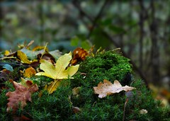 Autumn (nondesigner59) Tags: autumn fall nature leaves woodland moss lowperspective eos50d nondesigner nd59 copyrightmmee