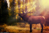 Six-point-Bull-Elk-from-Yellowstone-National-Park (Captain Kimo) Tags: yellowstonenationalpark elk mammothhotsprings bullelk photomatixpro singleexposurehdr captainkimo tonecompessor sixpointelk