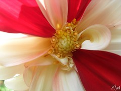 The Blend of Colors (Dahlia Flower) - 2 (cyriltw) Tags: flower macro colors photography sri lanka dhalia blend the