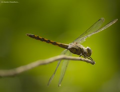 Dragonfly-III (Words Of Silence) Tags: nature rural canon asia village dragonfly bangladesh southasia 550d 55250mm rememberthatmomentlevel1