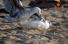 DSC_2203 (klakeduker) Tags: sea summer bird sand seagull crimea