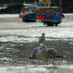 Gulls (farwest56) Tags: uk england bird beach water boats sand cornwall harbour sony shoreline seashore stives a350