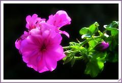 sunlight on the flowers (Tiziano Photography) Tags: pink flowers sun sunlight flower macro violet fiori sole fiore controluce geranio thegalaxy lucesolare mygearandme rememberthatmomentlevel1 flickrsfinestimages1 rememberthatmomentlevel2 rememberthatmomentlevel3