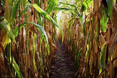 "maïsgang 43/52 ""creepy"" (Raf Degeest Photography) Tags: nature canon corn belgium 2012 week43 522012 52weeksthe2012edition weekofoctober21"