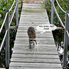 Gandalf the Grey Raccoon (bob in swamp) Tags: creek nikon you pass mangrove gandalf coolpix raccoon shall procyonlotor palmbeachcounty procyon youshallnotpass junodunesnaturalarea