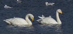 _MG_0508 Whooper Swans (Cygnus cygnus), Brandon Marsh, Warwickshire 27Oct12 (Lathers) Tags: warwickshire brandonmarsh canon7d canonef500f4lisusm 27oct12