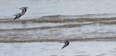 Sanderling flying in Formation (Rovers number 9) Tags: uk england water minolta wildlife sony lancashire blackpool 2012 sanderling a65 minoltaaf100200f45 sonya65