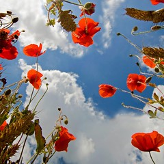 Poppies in the Sky (Twogiantscoops) Tags: sky nature canon landscape wildlife plymouth devon poppy poppies wembury poppyworld poppyfield iplymouth twogiantscoops