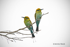 Bee-eater pair ~Explored~ (Jennie Stock) Tags: rainbowbeeeater meropsornatus carineopenspace avianexcellence