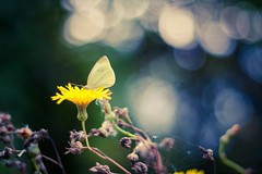 ButterFly in BokehLand (icemanphotos) Tags: flowers blue autumn flower colors yellow butterfly 350d hungary bokeh spiderweb 50mm18 icemanphotos