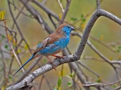 Blue Waxbill (Uraeginthus angolensis) (cybeR@NGER) Tags: birdwatching pilansberg bluewaxbill angolensis uraeginthus gewoneblousysie angolaschmetterlingsfink peitoceleste cordonbleudelangola angoleesblauwfazantje