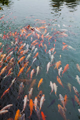 Carp in garden Dujiangyan Sichuan (Eason Q) Tags: china orange fish motion detail water horizontal closeup swimming outdoors photography gold underwater goldfish dancing crowd chinese communication relationship harmony species carp comparison groupofpeople crowded conformity colorimage populationexplosion tangledujiangyansichuangettychina13q1
