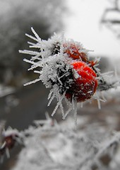 Iced berries (oildrum1) Tags: winter red england snow cold tree ice water fruit countryside berry crystals fuji berries britain branches finepix stokeontrent fujifilm icy staffordshire icecrystal