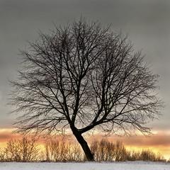 Morning Glow (L I C H T B I L D E R) Tags: morning winter tree field germany glow feld morgen baum singletree dorp mettmann leuchten glhen