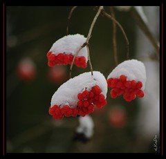 Gewhnlicher Schneeball (eLKayPics) Tags: schnee winter red white snow rot nature fruit hessen pentax natur frucht weiss taunus poisonous giftig idstein k7 eberesche dolde sorbusaucuparia vogelbeerbaum rotebeeren elkaypics