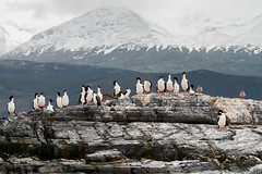 Having a good time (Damien [Phototrend.fr]) Tags: beagle argentine birds ushuaia channel colony 2012 cormoran canalbeagle terredefeu ushuaa