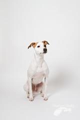 Sit (Penelope Malby Photography) Tags: dog canine whippet sit brownandwhitedog dogsit whippetcross tanandwhitedog penelopemalbyphotography