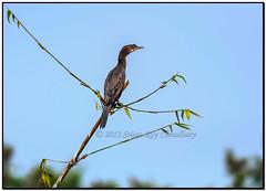 Little Cormorant perched on branch (Shutter Shooter) Tags: blue sky green water leaves branch waterbird cormorant littlecormorant phalacrocoraxniger nikond90 srijanroychoudhury nikkorafs300f4d