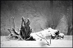 La Bte Revisite (de prs) (Jean-Luc Lopoldi) Tags: winter bw snow cold noiretblanc hiver stump neige froid souche arbremort