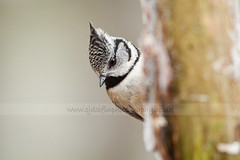 Crested Tit (cjdolfin) Tags: wood winter wild snow bird nature forest scotland highlands alba wildlife avian cairngorms crestedtit lophophanescristatus cjdolfin caledonianpineforest