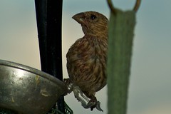 House Finch (1) (phicks172) Tags: bird finch