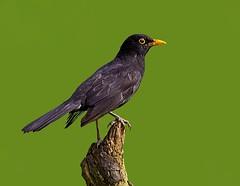 Male Blackbird  ( turdus merula  ) - Lookout duty ! (Mid Glam Sam1) Tags: songbird male cock morning wales perched turdusmerula blackbird thrush