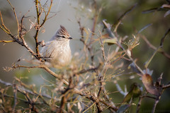 Coludito Copeton (Leptasthenura Platensis) (Javier Chiavone) Tags: argentina aves litoral entrerios leptasthenuraplatensis coluditocopetn