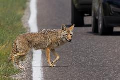 IMG_8670 Look both ways (cmsheehyjr) Tags: coyote nature wildlife yellowstonenationalpark lamar yellowstone wyoming colemansheehy cmsheehy