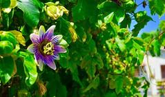 passiflora (mariangelalobianco) Tags: passiflora fioredellapassione colori natura fiore fiori verde casa nikond5100
