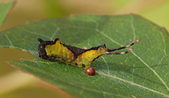 2016_07_0133 (petermit2) Tags: mothcaterpillar moth caterpillar oldmoor dearnevalley barnsley rotherham southyorkshire yorkshire rspb pussmothcaterpillar pussmoth
