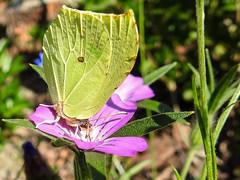 (Pieridae) Gonepteryx rhamni , Citronfjril / Brimstone (holgeric77) Tags: karlstad vrmlandsln sweden se pieridae gonepteryxrhamni