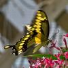 Giant Swallowtail Fluttering (ramseybuckeye) Tags: giant swallowtail butterfly fluttering natural resources area ohio state fair columbus pentax life
