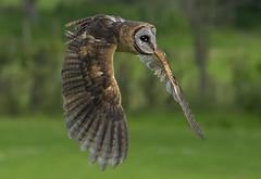 Prowling Owl (ORIONSM) Tags: owl flight flying bird prey raptor wings prowl pentaxk3 sigma150500