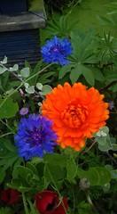 marigold and cornflowers (vw4y) Tags: marigold englishmarigold cornflowers planter orange blue drizzle