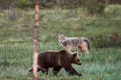 wolf and bear crossing their ways with distrust (barragan1941) Tags: canidos fauna finlandia lobo mamiferos osos plantigrados bear wolfs