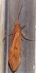 Caddisfly (Trichoptera) (August 24, 2016) (1 of 2) (Andrée Reno Sanborn) Tags: trichoptera caddisfly barton vermont unitedstates
