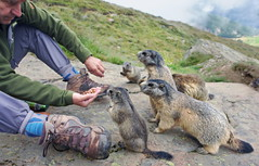 Saas-Fee (welenna) Tags: alpen alps animals switzerland summer schwitzerland saasfee tiere marmot murmeltier füttern people leute mann mensch wallis spielboden