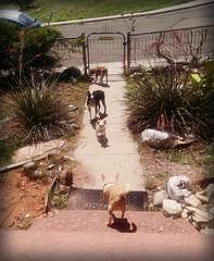 Harrison visiting (EllenJo) Tags: dogs pets dogsinyard floyd ivan simon harrison home august2016 ellenjo chihuahua bostonterrier miniaturepinscher minpin frontsteps yard dogonsteps