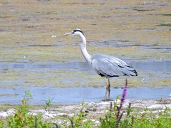 Heron (deannewildsmith) Tags: earthnaturelife heron middleton